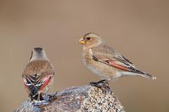 African Crimson-winged Finch | afrikansk bergsökenfink | Rhodopechys alienus