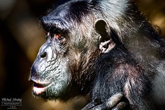 Šimpanz (Pan)