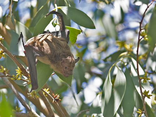 "Eastern Falsistrellus - Falsistrellus tasmaniensis - Bombala, NSW - 11/03/18 • <a style=""font-size:0.8em;"" href=""http://www.flickr.com/photos/95790921@N07/40033634014/"" target=""_blank"">View on Flickr</a>"