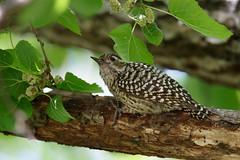 Checkered Woodpecker | schackspett | Veniliornis mixtus