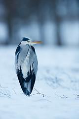 Grey Heron | gråhäger | Ardea cinerea