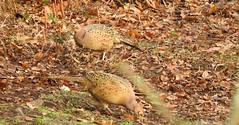 Two female pheasants