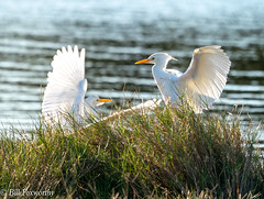 Sony ILCE-A9, Cattle Egret's, 5608, 1-1600, f8, ISO 800, 560mm _
