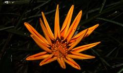 Flower (Macro)