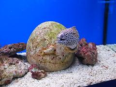 Moray in the aquarium of the World Ocean museum in Kaliningrad, Russia