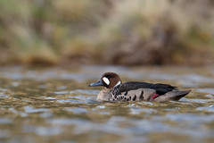 Bronze-winged Duck | bronsvingad and | Speculanas specularis