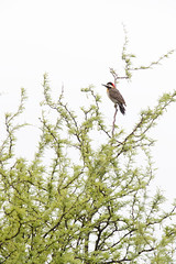 Green-barred Woodpecker | grönbandad hackspett | Colaptes melanochloros