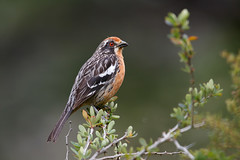 Rufous-tailed Plantcutter | chileväxtmejare | Phytotoma rara