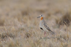 Tawny-throated Dotterel | rosthalspipare | Oreopholus ruficollis