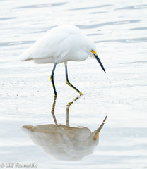 Sony ILCE-A9, Snowy Egret, 6895, 1-800, f8, ISO 1250, 560mm _
