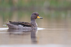 Yellow-billed Teal | gulnäbbad kricka | Anas flavirostris