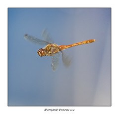 Flight of the Common Darter dragonfly