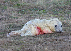 Grey Seal Pup Halichoerus grypus 027-1