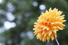 Orange colored dahlia