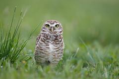 Burrowing Owl | prärieuggla | Athene cunicularia