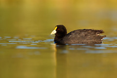 White-winged Coot | vitvingad sothöna | Fulica leucoptera