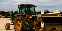 Stewart takes his grain-filled tractor to the older calves for feeding.