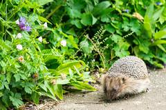 Mother Hedgehog