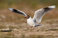 Brown-hooded Gull | patagonienmås | Chroicocephalus maculipennis