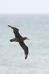 Northern Giant Petrel | nordlig jättestormfågel | Macronectes halli