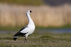 Upland Goose | magellangås | Chloephaga picta