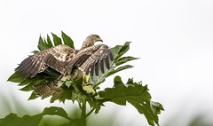 Oriental honey buzzard ready for flight! #orientalhoneybuzzard