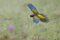 Burrowing Parrot | patagonienparakit | Cyanoliseus patagonus