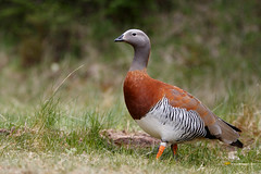 Ashy-headed Goose   gråhuvad gås   Chloephaga poliocephala