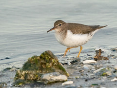 Sony ILCE-A9, Spotted Sandpiper, 4371, 1-500, f-10, ISO 1600, 560mm _