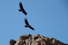 Andean Condor | kondor | Vultur gryphus