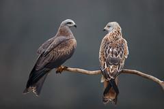 Black Kite | brun glada | Milvus migrans & Red Kite | röd glada | Milvus milvus