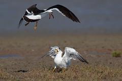 Olrog's Gull | olrogtrut | Larus atlanticus