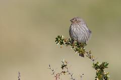 Plumbeous Sierra Finch | blygrå fink | Phrygilus unicolor