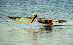 Sony ILCE-A9, Brown Pelican Liftoff, 4391, 1-500, f-10, ISO 1600, 560mm _