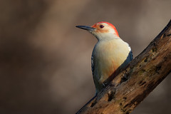 Woodpecker in morning light