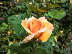 Exposition Park Rose Garden
