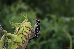 084 Downy Woodpecker, Elizabethtown, PA