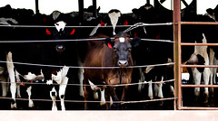 Double S Dairy cows stare at a stranger while they are held before their afternoon milking.