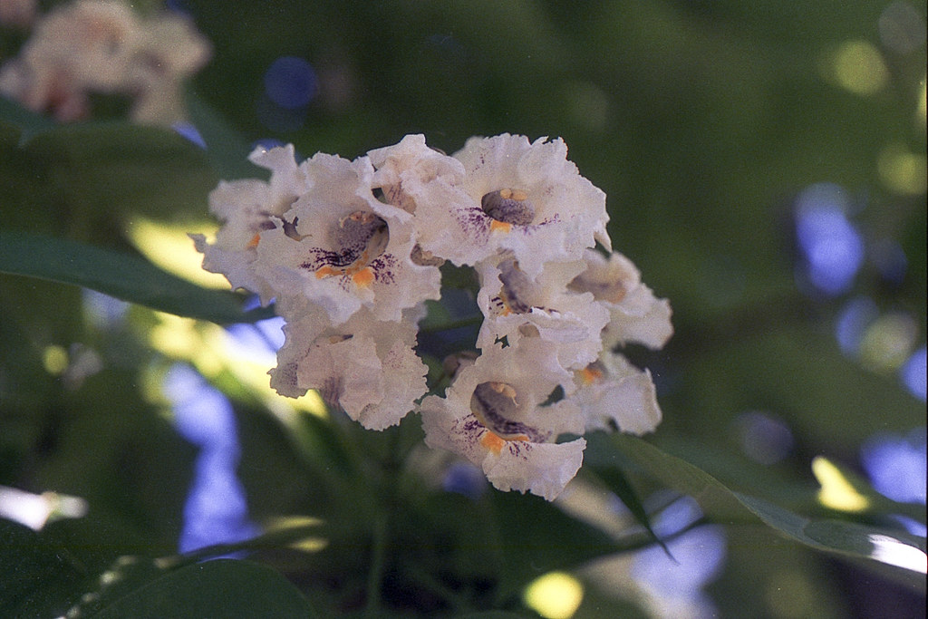 Catalpa blooms