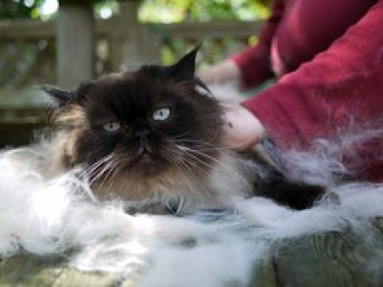 5 Tips for Grooming Long Haired Cats - furminating angus