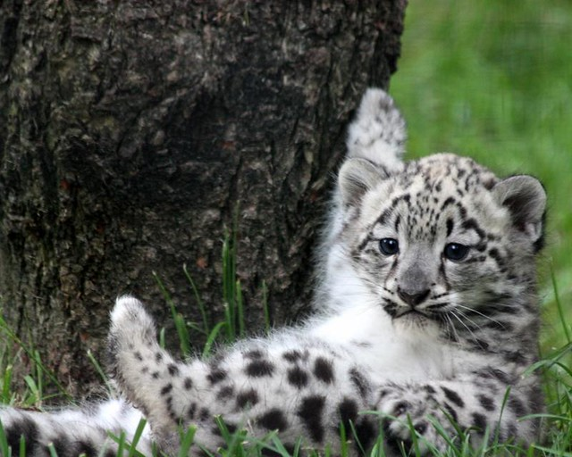 Cute Baby Cheetah Cubs Wallpaper Snow Leopard Cub By Tiffany And Dave Snow Leopard