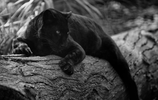 black panther_By_barrasa8 from Flickr via Wylio
