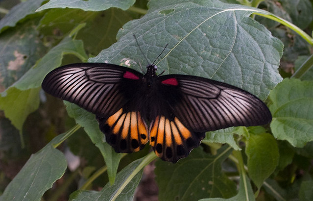 Exotic Butterfly Flickr Photo Sharing