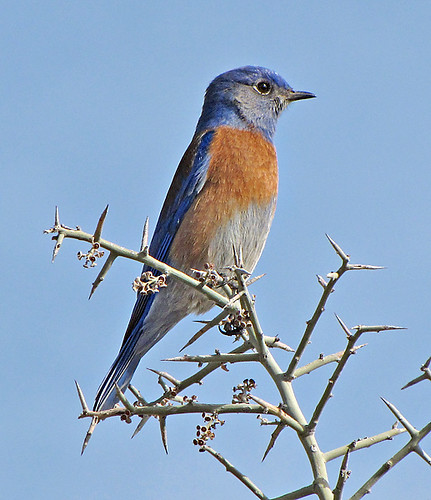 Western Bluebird by SearchNetMedia