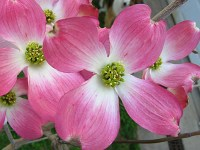 flowering dogwood branches