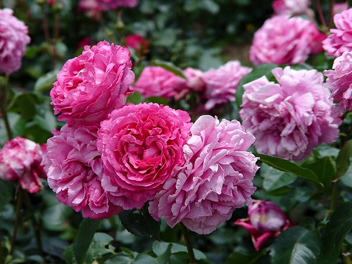 Rose Yves Piaget バラ イブ ピアッチェ