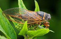 Cicada, by berr