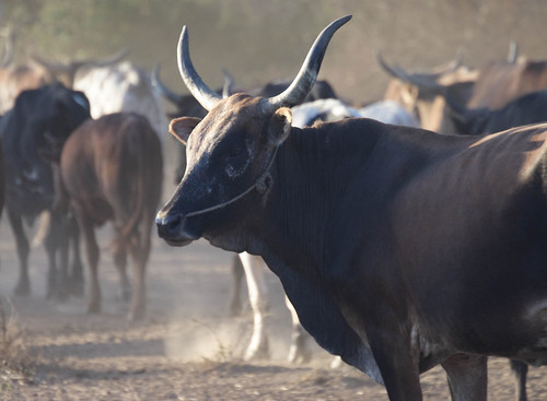 Village cattle coming in from the fields in Mozambique