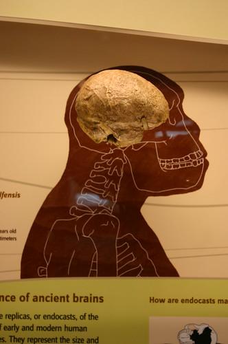 Australopithecus afarensis cranial endocast