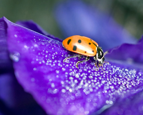 Ladybug Sipping Morning Dew: Creative Commons License